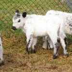 Our latest miniature white Galloways